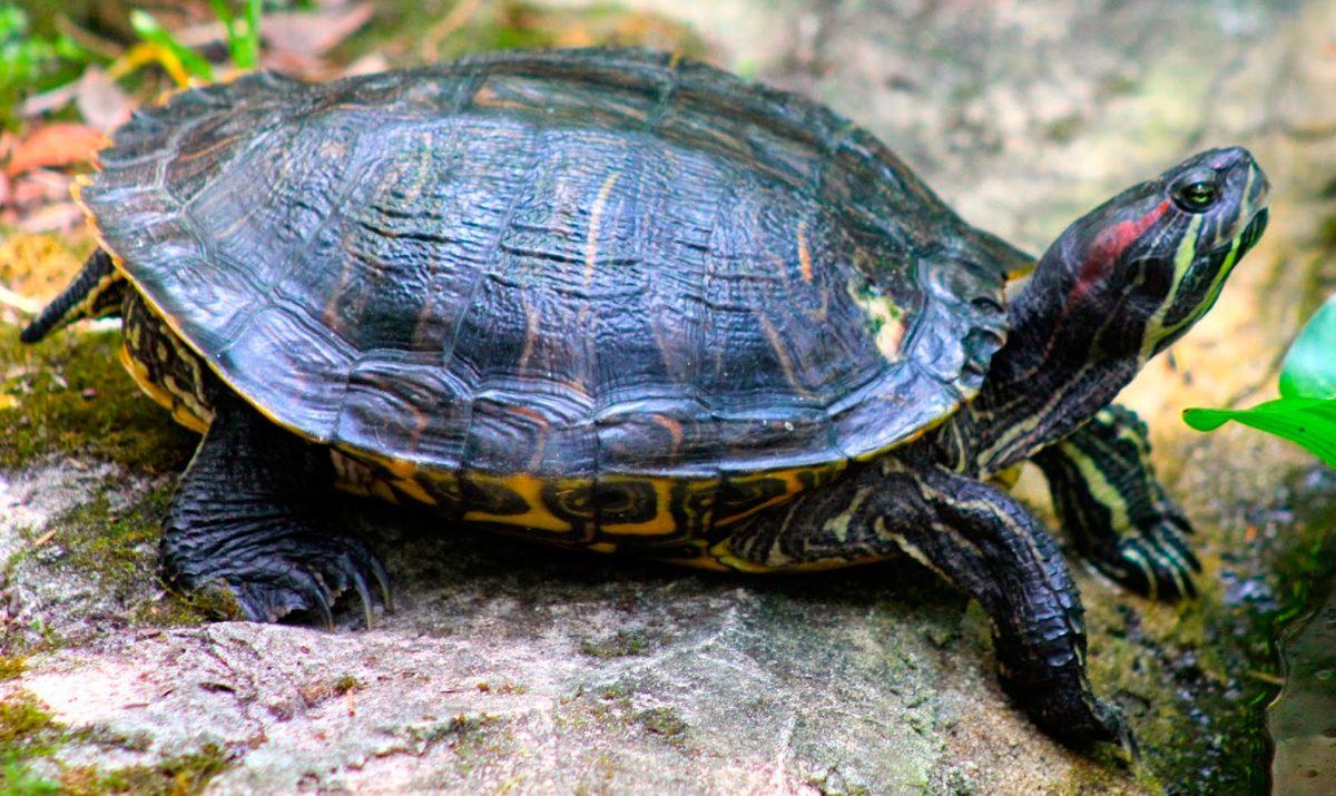Gu a b sica de las tortugas de agua for Filtro para estanque de tortugas