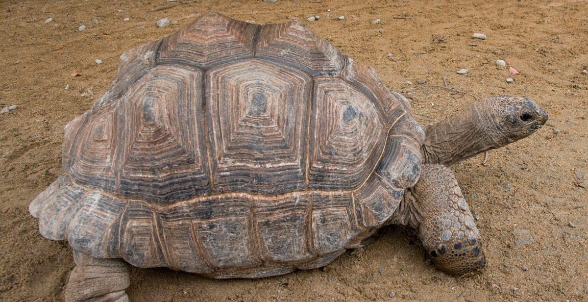 Anatomía de la tortuga gigante de Aldabra :: Imágenes y fotos