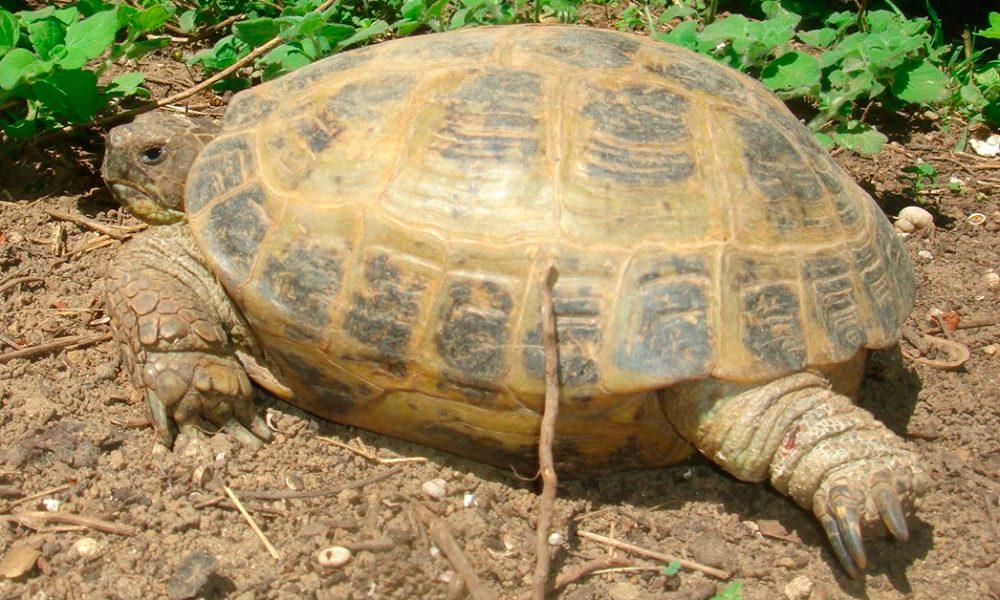Anatomía de la tortuga rusa :: Imágenes y fotos