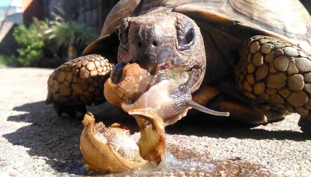 Qué comen las tortugas de tierra?