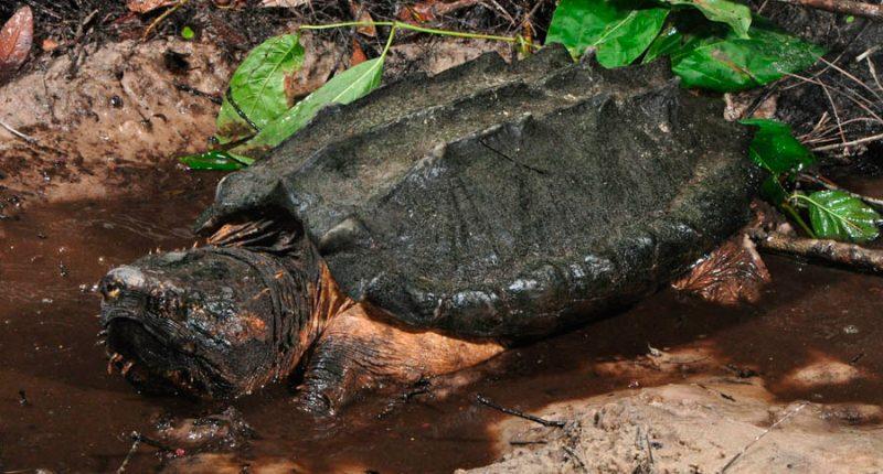 Resultado de imagen para Tortuga Caimán
