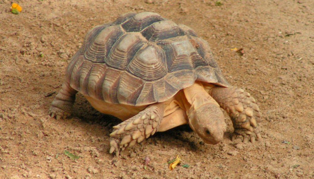 Tortuga sulcata for Temperatura tartarughe