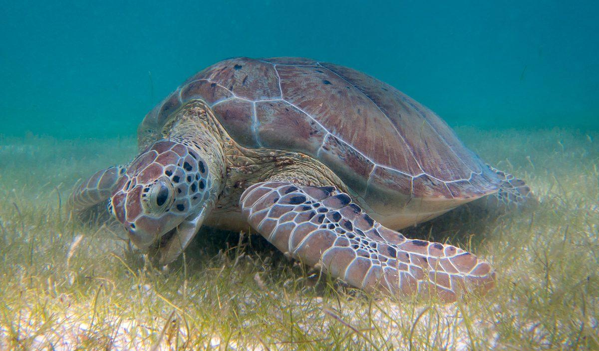Tortugas: guía de especies, información básica, fotos y dibujos.