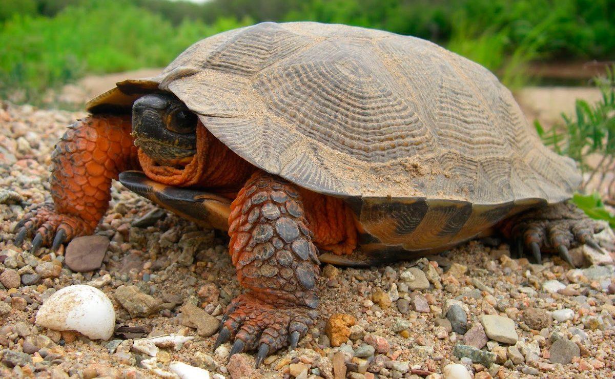 Galer a de im genes cuidados de las tortugas de tierra for Imagenes de estanques de tortugas