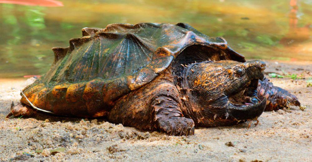 Tortuga caim n for Peceras para tortugas