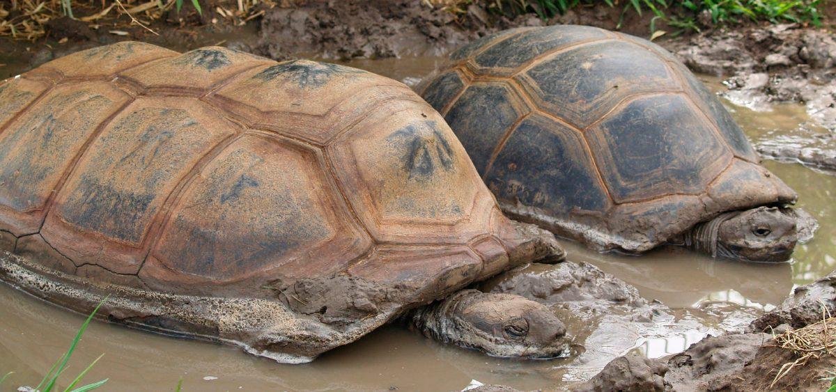 Tortuga Gigante Aldabra Tortue Matamata