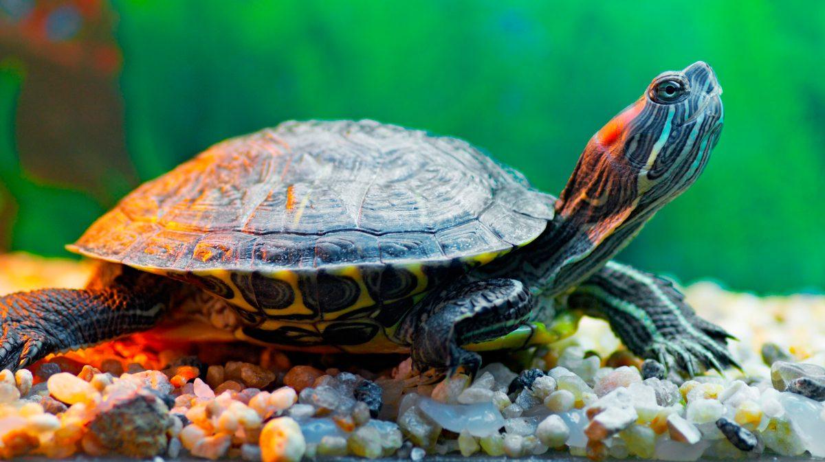 Cuidados de las tortugas de agua for Acqua tartarughe